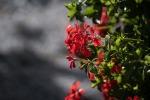 geranium-1604951_1280