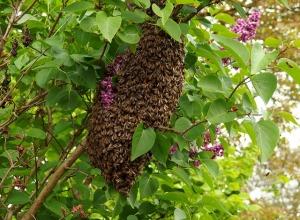 swarm-1548381_640